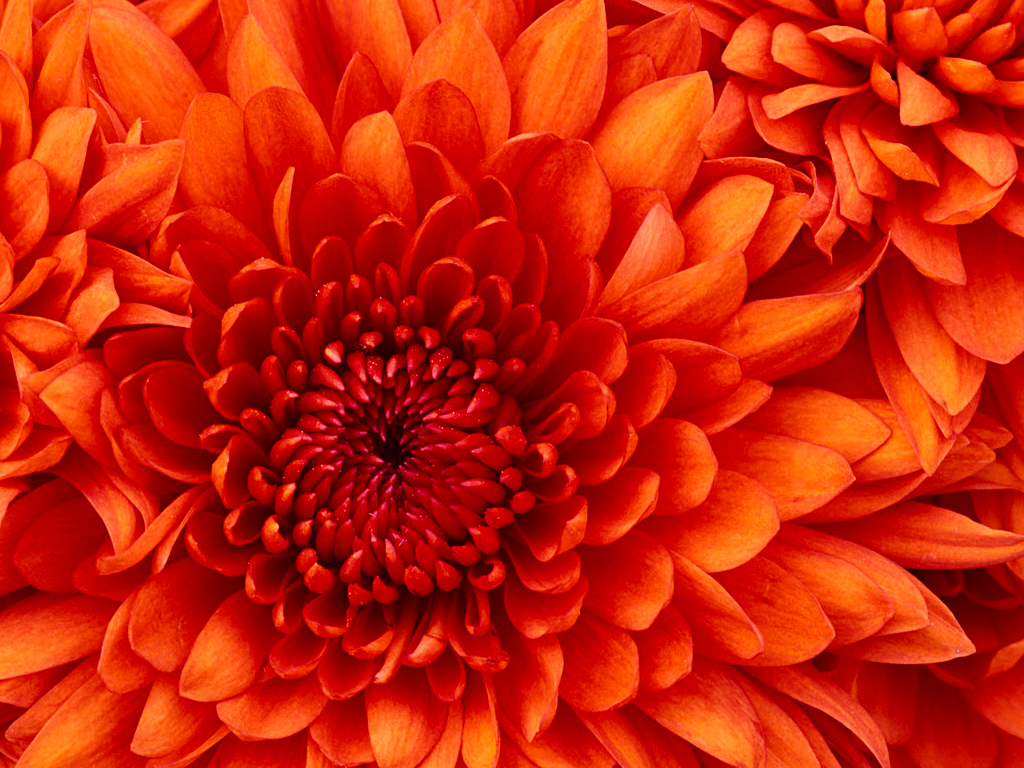 20180919040051-Chrysanthemum.jpg